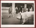 """Photographie Tirage Presse Original 30 X 24 Cm """" Cochon Et Passants Dans La Rue """" - Photographe à Déterminer - Autres"""