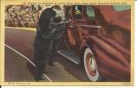 Linen Postcard Of Bear By Car By Curteich - Bears