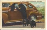 Linen Postcard Of Bear Family By Car By Curteich - Bears