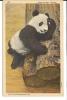 Linen Postcard Of Giant Panda Bear By Curteich - Bears