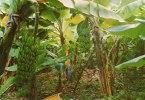 ANTILLES - WEST INDIES -Bananeraie, Banana Plantation (banane, Bananes) * PRIX FIXE - Antilles