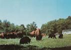 Dép. 07 - PEAUGRES - SAFARI PARC - Ours Et Bisons. CIM. 3.20.78.0363 P - Bears