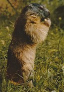 Marmotte. Editions JANSOL, Cliché J.-P. Castellan. Chambéry (73) - Chambery