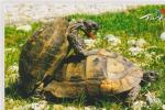 CPM TORTUE FRIPONNE DE TURQUIE  Si Bandes Jaunes Dues Au Scan GRAND FORMAT - Schildpadden