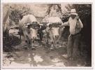 PHOTO ATTELAGE DE BOEUFS BEAU PLAN A BROYE ( S ET L)  1933 - Berufe