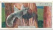 Grey Squirrel / Ecureuil Gris / Animal Animaux  / IM 39/2-Wills - Wills