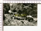 SANGLIERS  Et  MARCASSINS  Dans La Forêt  -  Wildschweine Im SPESSART - Ohne Zuordnung
