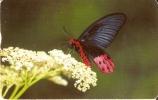 TARJETA DE TAIWAN DE UNA MARIPOSA (BUTTERFLY) - Farfalle