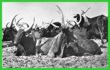 -NIGER- Boeufs Bororos..(recto Verso) - Niger