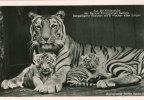 Zoologischer Garten BERLIN - Jardin Zoologique - +/- 1942 - Aus Der Kinderstube ,,, - Lion Et Ses Jeunes   (2299) - Allemagne
