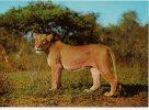 Arnhem  Leeuw Lion Löwe Safari  Nederland Zoo - Lions