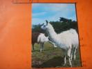 61) Parc Zoologique  Jurques:; Lamas , - France