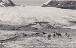 Mountain Sheep At The Columbia Ice Fields, Jasper Park. Older Real Photo. - Jasper