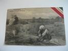 Tripolitania Tripoli La Raccolta Dello Sparto 5 Ottobre 1911libia Storia Postale Coloniale Posta Militare - Libia