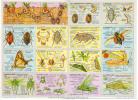Anatomie Hanneton Papillon Sauterelle Affiche Anatomique Arnaud N° 130 Format 24x33 Cm état Superbe 1957 - Sammlungen