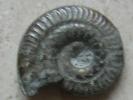 Gastéropode - Fossiles