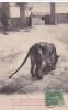 20677 Tonkin Viet-nam Tigres Du Massif De La Riviere Noire. Enclos Muong , Enlever Betail . Dieulefils 623B