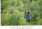 AGRICULTURE CUEILLETTE DES OLIVES EN PROVENCE PHOTO G MARTIN ROGET - Cultures