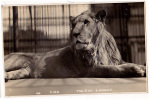 AK  LONDON T ZOO  LION Löwe FOTOGRAFIE  OLD POSTCARD - Lions
