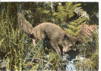 Ardennes Belges - Renard - Vos - Fuchs - Fox - Animals