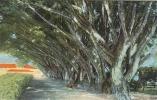 """Etr - COSTA-RICA - Indian Laurel Trees """"Vargas"""" Park - Limon - Costa Rica"""