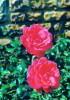 69 ECULLY Valpre Rue De Chalin, Roses - France