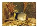 Cp, Animaux, Damier (Holacanthus Species) - Pescados Y Crustáceos