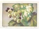 Oïdium / ( Thème Champignon Mushroom Vigne Viticulture Raisin Fruit )  // IM 29/7 - Nestlé