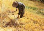 AGRICULTURE LA MOISSON LE BLE FEMME AU TRAVAIL REGION D'OC CPM GRAND FORMAT - Cultures