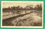 COCHINCHINE   -  LABOURAGE DES RIZIERES  ( BOEUFS ) - Viêt-Nam