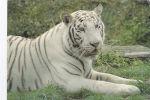 WHITE TIGER POSTCARD - MAYURA. LONGLEAT SAFARI PARK - Tigres