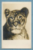 Real Photo, Zoo Animals - Lioness, - Löwen