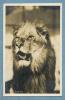 Real Photo, Zoo Animals - Lion - Löwen