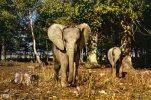 RESERVE AFRICAINE DU CHATEAU DE THOIRY EN YVELINES...ELEPHANTS...CPM - Elephants