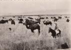 Carte Photo - Chameaux Camels - Algérie Algeria - Collection Saharienne - 1950 - Non Circulée - Algérie