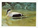 Oiseau. Bird. Eider D'Europe. Knokke - Zoute. La Réserve Ornithologique Du Zwin - Birds