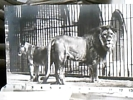 LEONE E LEONESSA IN GAZZIA IN ZOO ED NPG Primi 900 N1900 DV1708 - Lions