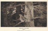 "Swedish Card - Bruno Liljefors - ""Tjäderhöne I Granskog""  B-2191 - Paintings"