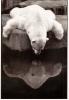 CPM Carte Noir & Blanc Ed. Nouvelles Images 14,8 X 10,5 Cm - Ours Blanc Zoo Vincennes Loïc Gibet - Ours