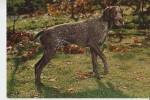 TIERE - Hunde - Jagdhund - Jachthond - Chienne De Chasse - Hunting Dog - Hunde