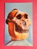 Skull Of Zinijanthropus  Found At Olduval  Gorge July 1959   ===  == Ref 613 - Postcards