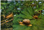 Postcard , Romania, Animals, Mollusca - Snail  ( Helix Pomatia) - Andere