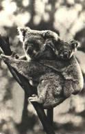 Koala - N°3 Femelle Et Son Petit - Unclassified