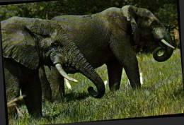 Cotonou, Faune D'afrique Elephants - Elephants