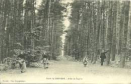 Desvres - Forêt - Allée De Sapins - Desvres