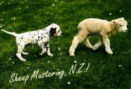 Nouvelle Zélande          Divers      Sheep Mustering . - Nouvelle-Zélande
