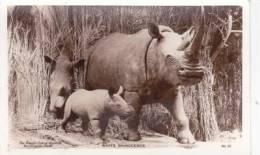 WHITE RHINOCEROUS.  TAXIDERMY - Tierwelt & Fauna