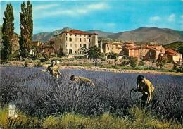 Alpes De Haute Provence  -gd  Format -ref H196-ceuillette De La Lavande Pres Du Village De La Palud Sur Verdon - - France