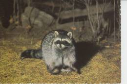 TIERE - WASCHBÄR - Yosemite National Park, Raccoon - Raton Laveur - Mapache - Procione - Wasbeer - Autres
