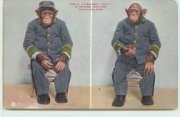"SINGE   -  Chimpanzée ""Blady In Uniform,New York, Zoological Park. - Singes"